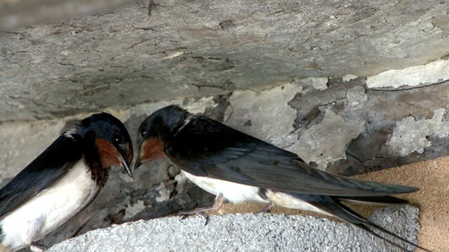 Swallow feeding its chicks in a man made nest. video
