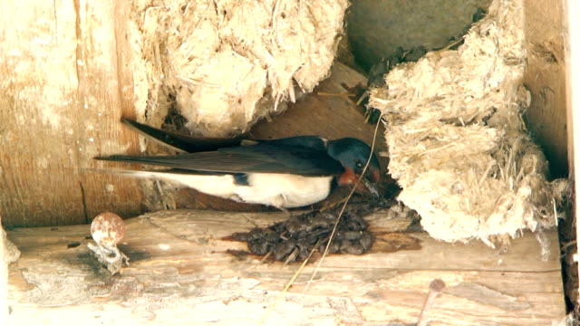 Swallow flies and building a nest video