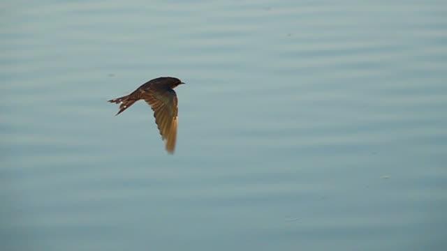 vídeos y material grabado en eventos de stock de golondrina volando a cámara lenta - pájaro