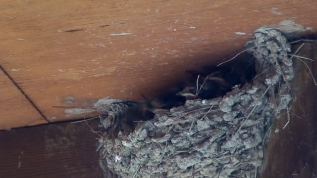 Swallow nest life video