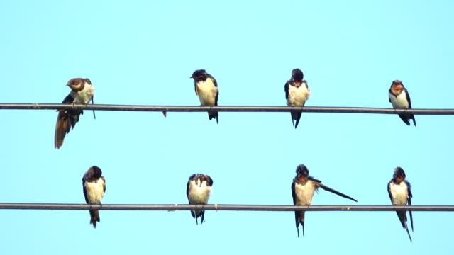 swallow on power line - cavo d'acciaio video stock e b–roll