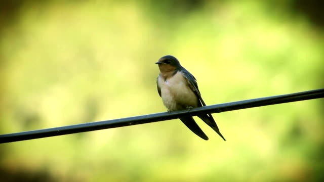 Swallow on Wire video