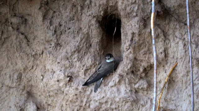 Swallows birds fly in and fly out of the burrow. They carry food for chicks. In the burrow they have a nest. The burrow was built on a steep sandy slope on the river bank. Sometimes swallows rest. Summer morning.  Slow  motion  footage. video