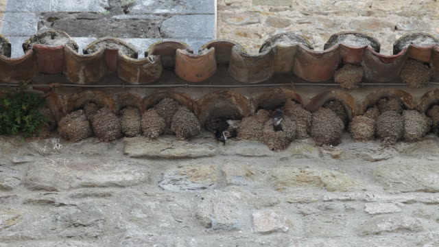 Swallows nesting at roof video