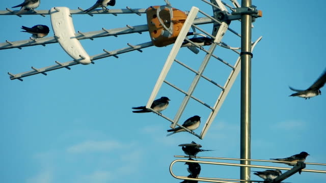 swallows on a tv antenna video