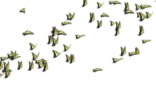 Swallowtail Butterflies video