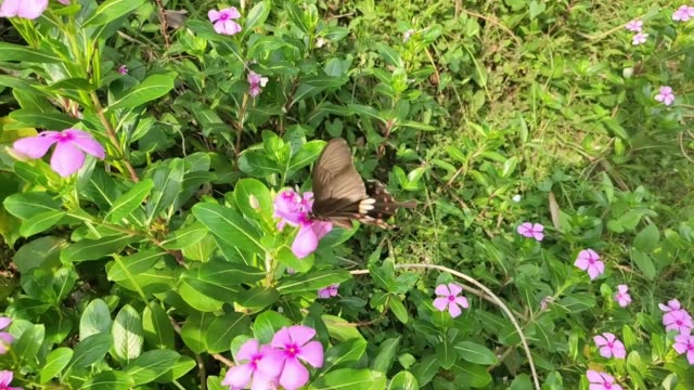 Swallowtail butterfly collecting nectar from periwinkle flower,Flying slow motion