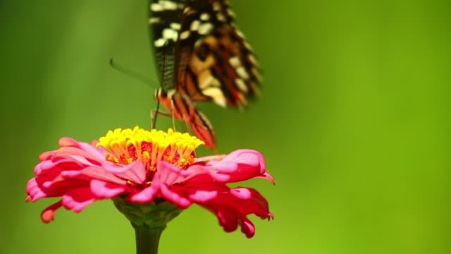 Swallowtail Butterfly Feeding On A Zinnia Flower