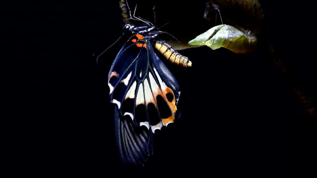 Swallowtail butterfly new born from chrysalis butterfly ball 4K