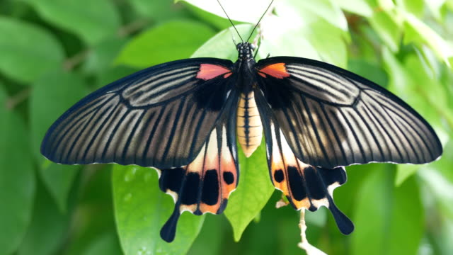 Swallowtail butterfly on leaf Swallowtail butterfly on leaf 4k animal wing stock videos & royalty-free footage