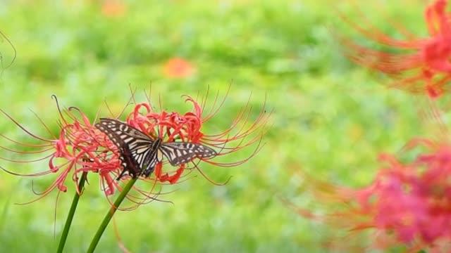 vídeos de stock e filmes b-roll de swallowtail butterfly on red spider lily - setembro