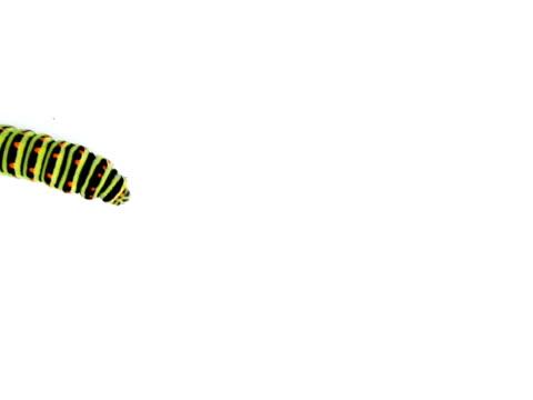 stockvideo's en b-roll-footage met pal: swallowtail caterpillar - rups