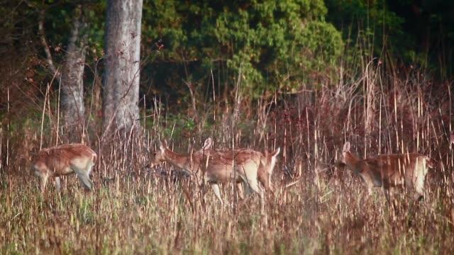 swamp deer in bardia national park, nepal - park narodowy kanha filmów i materiałów b-roll