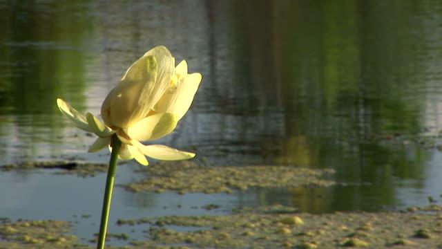 swamp flower and algea