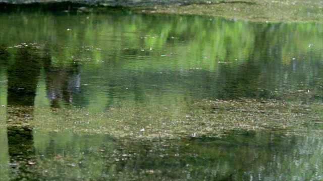 Swamp in the jungle. Water blooms. video