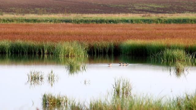 swamp mit vögeln landschaft - rohrblattinstrument stock-videos und b-roll-filmmaterial