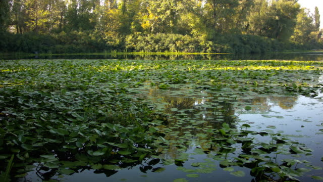 Swamp with lilies at sunset in the summer.