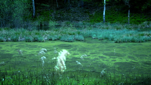 Swamps in autumn. Cool dark lake in primeval forest video