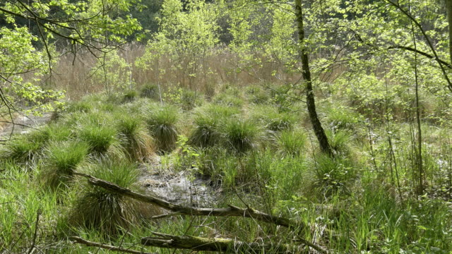 Swamps in summer. Cool green lake in primeval forest video