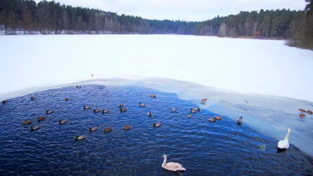 白鳥とアヒル湖の冬の餌 - 水鳥点の映像素材/bロール