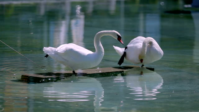 Swan couple cleaning feathers in sanctuary, reflection in water, sequence video
