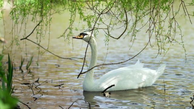 Swan eating leaves