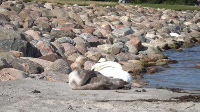 A swan family laying on the beach