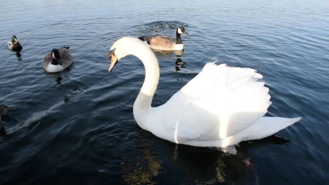 白鳥の餌とアヒルのダイビング&水中水泳 - 水鳥点の映像素材/bロール
