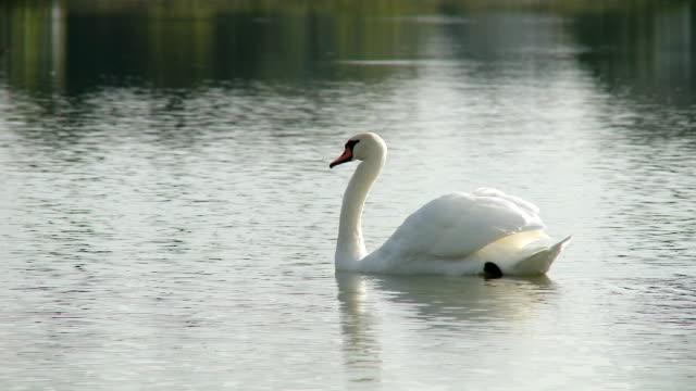hd: swan schwimmenden see - schwan stock-videos und b-roll-filmmaterial