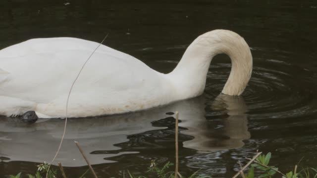 Swan floating on dark river water. video