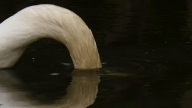 schwan, der auf dunklem flusswasser schwimmt. - anmut stock-videos und b-roll-filmmaterial