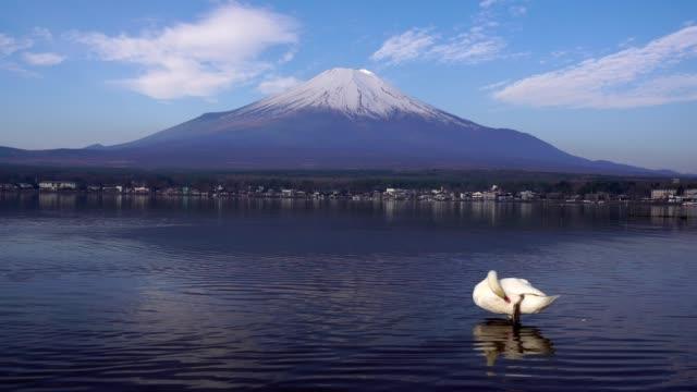 背景に富士山と山中湖に浮かぶ白鳥 - 野生動物旅行点の映像素材/bロール
