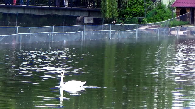 swan floating on the lake - ghat filmów i materiałów b-roll