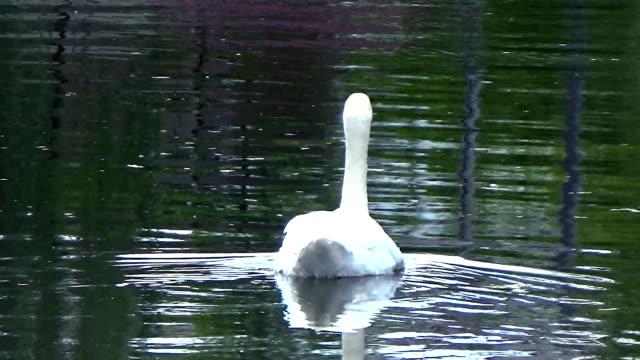 swan floating on the mirrored surface - ghat filmów i materiałów b-roll