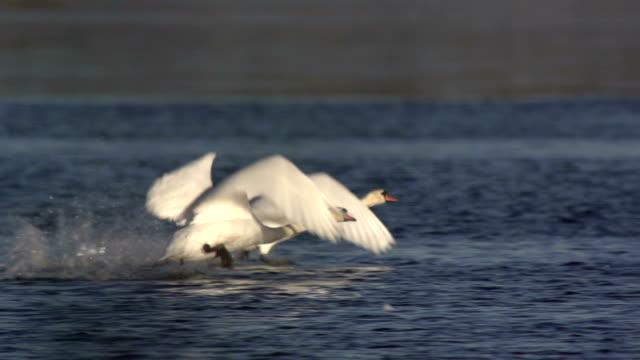 白鳥の飛行のたいまつ - 水鳥点の映像素材/bロール