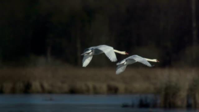 swan flying slo mo - battere le ali video stock e b–roll