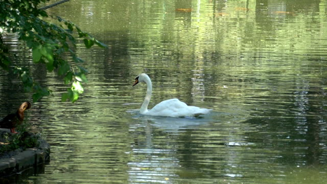 A Swan In A Peaceful Pond With A Lush Green Shoreline