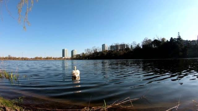 vídeos de stock, filmes e b-roll de cisne no parque elevado toronto canadá - alto descrição geral