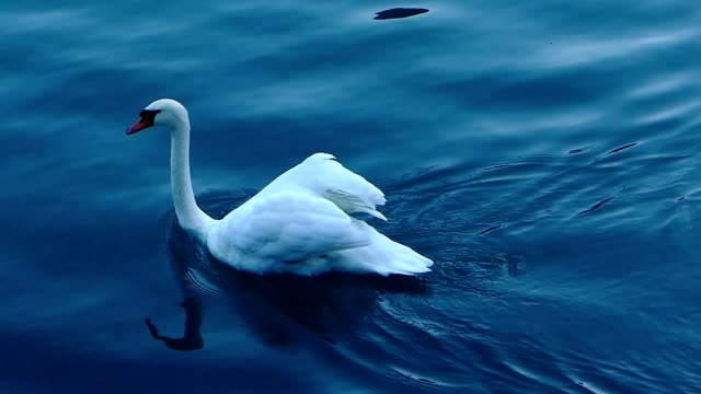 Swan in the lake, Italy video