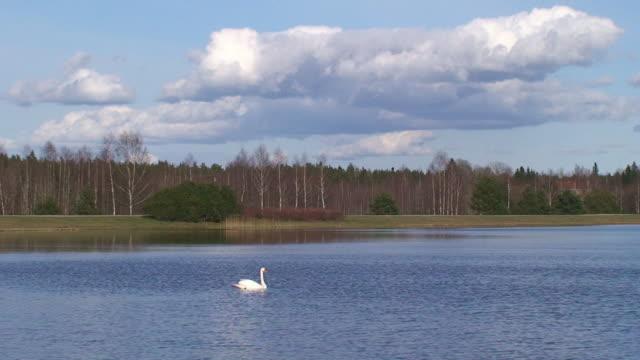 swan in den see - schwan stock-videos und b-roll-filmmaterial