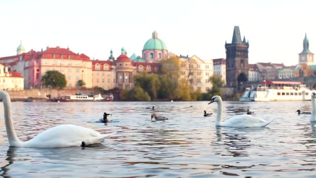 A swan is floating on the river with his head down in the water.