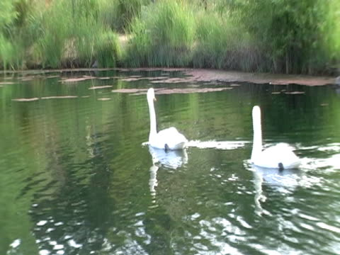 Swan Lake Swans on a small lake, very peaceful.  aquatic organism stock videos & royalty-free footage