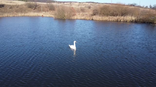 Swan on a lake aerial view video