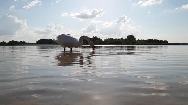 swan på sjön slow motion - djurlem bildbanksvideor och videomaterial från bakom kulisserna