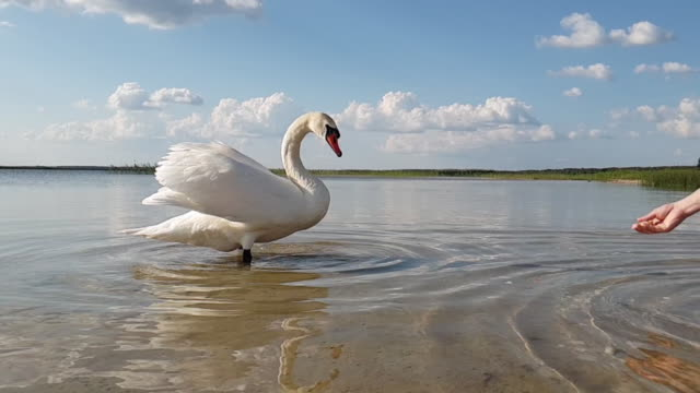 Swan on the lake slow motion White Swan on lake water in day, Swans on pond, nature series. Beautiful White Swan swimming in a lake. animal limb stock videos & royalty-free footage