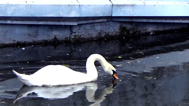 swan sailing along the coast - ghat filmów i materiałów b-roll