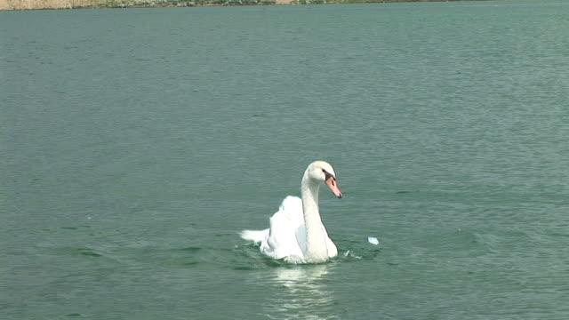 hd: swan stretching-flügel - schwan stock-videos und b-roll-filmmaterial