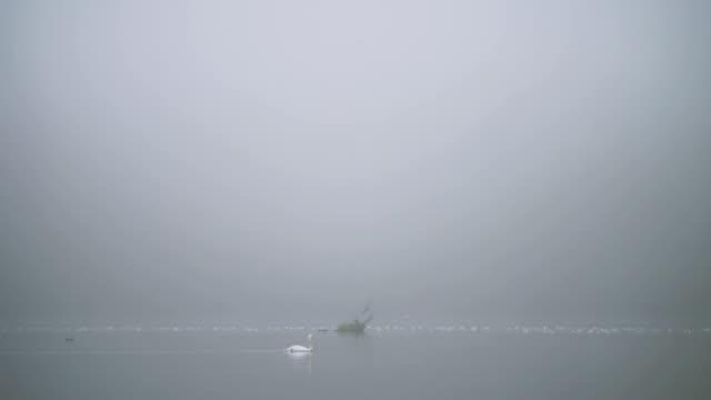 背景に鳥と霧の静かな川で泳ぐ白鳥 - シベリア点の映像素材/bロール