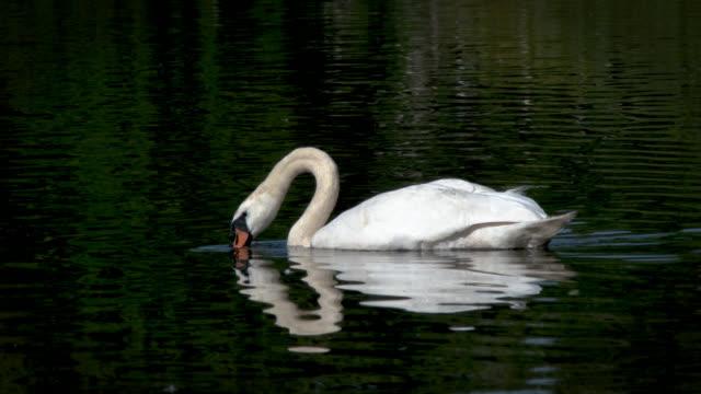 schwan auf einem loch schwimmen - schwan stock-videos und b-roll-filmmaterial