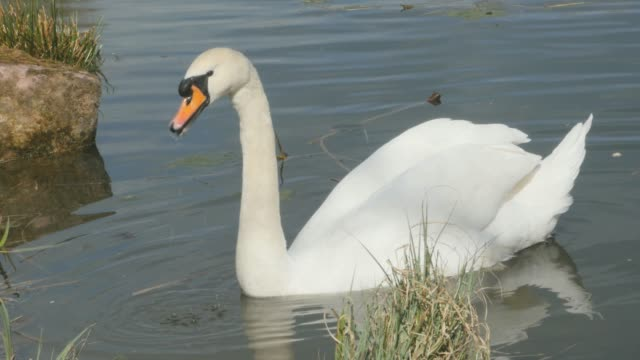 swan swimming on lake close to shore video
